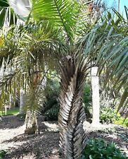 "Syagrus coronata 4"" pot Ouricury Palm Tree Live Tropical Rare!"