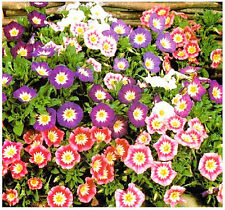 50 MORNING GLORY ENSIGN MIX SEEDS, NON GMO+FREE GIFT*