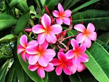 "Plumeria 8""-12"" Fresh Cutting Pink Flower (RARE) - Florida Professionally Grown"