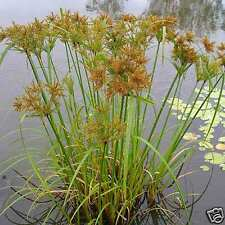Umbrella Sedge Seed Native  Perennial Frost Tolerant Aquatic Cyperus exaltata