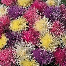 50 MIXED OSTRICH PLUME ASTER Feather Spider Callistephus Chinensis Flower Seeds