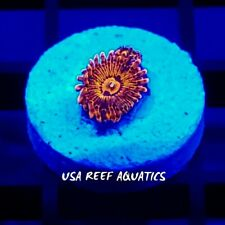 USA REEF AQUATICS - HIGHEND 5-8 POLYPS VDM ZOANTHIDS LIVE CORAL FRAG - ZOA PALY