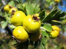 Pojarkov's hawthorn (Rataegus pojarkovae) 20 seeds