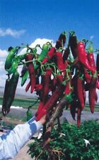 New listing 1 oz Hatch Ms. Junie Hot Chile Pepper Seeds (2500 seeds)