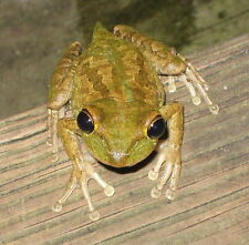 Live Tadpoles 10+ Cuban Tree Frog - Easiest Tadpoles to Raise - Free Shipping