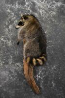 SKU 1591 Raccoon Full Body Taxidermy Mount 37 1/2″ Length