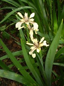 2 ORGANIC NORFOLK NATIVE BRITISH IRIS FOETIDISSIMA SHADE LOVING PLANT