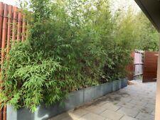 Bamboo x 5 pots