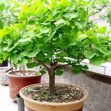 20Pcs Ginkgo Biloba Seeds Bonsai Potted Plant Landscape Home Garden Decor Hot