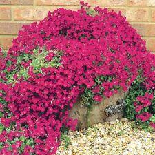 16 Trailing Aubretia RED Hardy perennial aubrieta mini Plug Plants