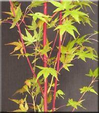 Bonsai Japanese Maple Tree (Acer palmatum) 'Beni shigitatsu sawa'