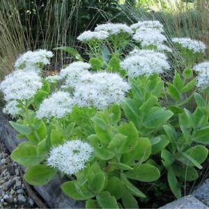 Sedum spectabile Iceberg-Ice Plant Plant in 9 cm pot