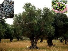 Olive tree - Arbequina - 350 Seeds Without cleaning