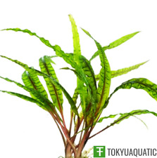 Cryptocoryne Balansae Freshwater Live Aquarium Plants Decoration Balansae plants