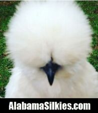 6+ SILKIE CHICKEN HATCHING EGGS - NPIP - (*SHOW QUALITY*)