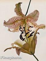 1980 IRVING PENN Vintage Botanical FLOWER LILY Fine Art Photo Engraving 11x14