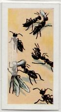Polyergus Amazon 'slave-raiding' Ants Vintage Trade Ad Card