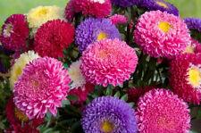 ASTER 'Giant Mix' 50 seeds LARGE flower garden GOOD CUT FLOWER mixed