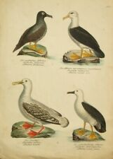 1866 - PRINT FROM GOLDSMITH//CUVIER BIRDS UNKNOWN 3 ORIGINAL HAND-COLOURING