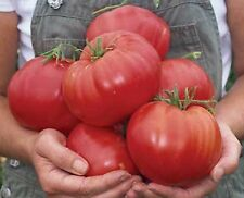 "Tomato ""BIG BEEF"" GENUINE F1 HYBRID SEEDS  A.A.S. Winner Early Italian Beefsteak"