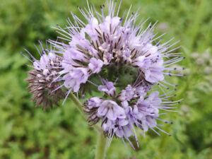 ab 2500 Samen Büschelschön Phacelia tanacetifolia seed Phazelie Bienenweide lila