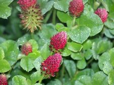 1/2 LB Medium Red Clover Seed Deer/Wildlife/Weed Suppression/Hay Same Day Ship