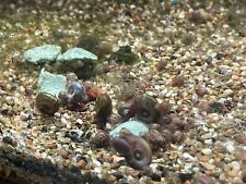 30 Live Small Ramshorn Snails. Aquarium.Feeders.Free shipping.