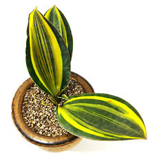 """SANSEVIERIA MASONIANA VARIEGATED """"3 leafs"""" EXOTIC PLANTS FOR SALE SUCCULENTS"""