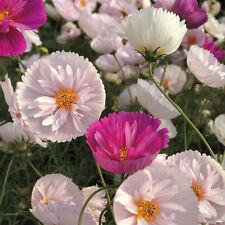 35x Vanillemark Cosmos Samen Saatgut Pflanze Garten Rarität Blumen #371