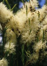 Melaleuca alternifolia (2 pack) in 50mm forestry tube native screen  windbreak