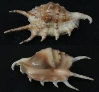 Seashells Lambis lambis SPIDER CONCH 86 mm F+++/GEM marine specimen sea snails
