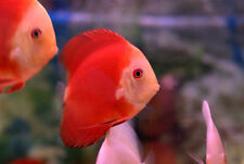 Fuji Red Discus (Fuji Apple Discus Fish), Medium-Sized - Live Tropical Fish