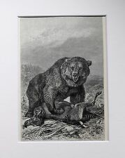 Grizzly Brown Bear - Antique Victorian B/W Print, Wood Engraving, Mounted