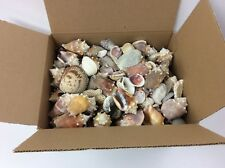 Over 11 1/2 lbs Hand Collected Florida Seashells - Unwashed or Processed