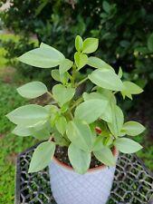 """Peperomia Orba 'Pixie Lime' 4"""" pot"""