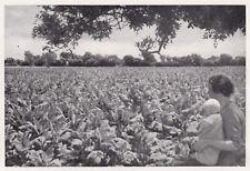 D4803 Piantagione nel salento - Stampa d'epoca - 1935 vintage print