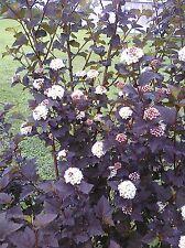 20 Black Beauty Ninebark Seeds Dark Foliage Shrub -USA GROWN