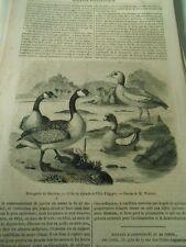 L'Oie du Canada et L'Oie d'égypte 1848 Gravure Print Article