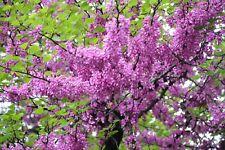 10 X Rosa floración Algarrobo Loco Semillas De Cercis Siliquastrum