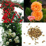 100PCS Climbing Rose Seeds Perennial Fragrant Flower Decor Bubles 3Color Outdoor