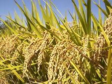100 BROWN JASMINE RICE Fragrant Long Grain Thai Oryza Sativa Vegetable Seeds