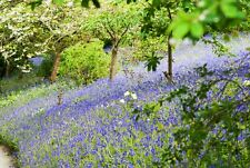 'Bluebell Bank' Canvas Wall Art Print Picture Nature Countryside Spring