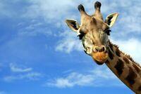 A1 | Happy Giraffe Poster Art Print 60 x 90cm 180gsm Wild Animal Cool Gift #8309