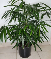 """Lady Palm Rhapis Excelsa Indoor/Outdoor Live Plant, 10"""" Pot, Air Purifying Plant"""