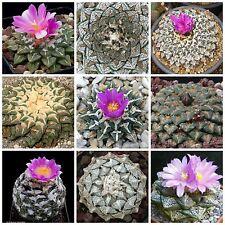 50 seeds of Ariocarpus mix, cacti mix, succulents seeds mix R