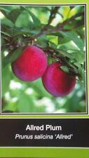 4'-5' Allred Plum Fruit Tree Plant Healthy Trees Sweet Plums Home Garden Plants