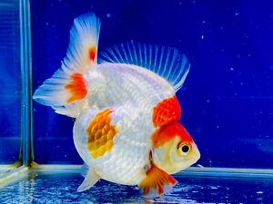 Ryukin Gold Fish Premium Grade UK Seller…!!!