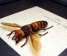 Real Framed Vespa Mandarinia Japonic Deadly Venomous World's Largest Hornet 7990