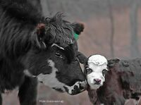 """Limited Edition Canvas Print 1 Of 25  Baby Calf Cow Mike Quesinberry 30"""" x 22.25"""