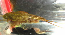 TRIOPS granarius : (150-200+) high quality&pure eggs